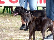 Groupe 3 - Terriers : 2 Staffordshire Bull Terrier en lice