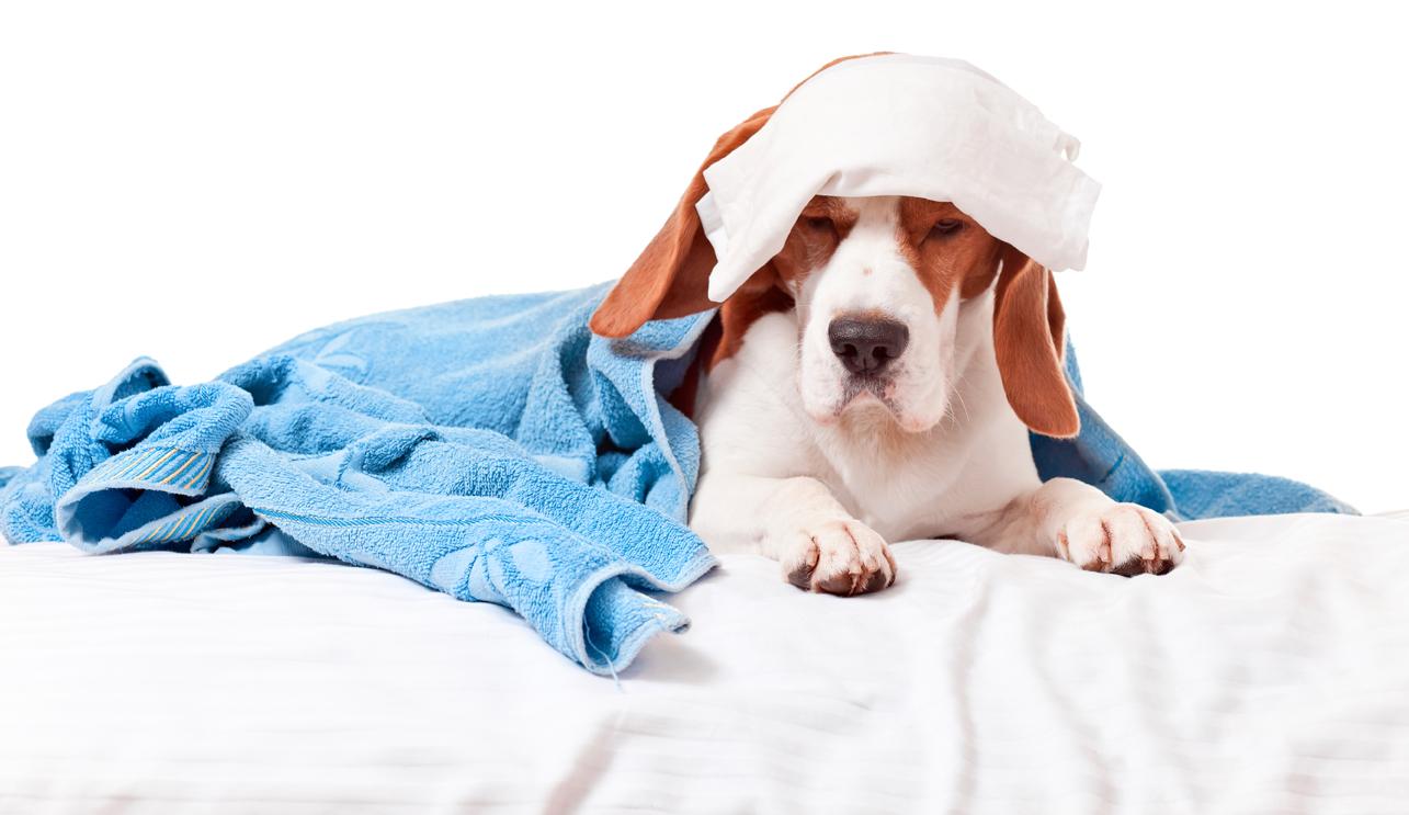 Pensez-vous que votre chien peut être malade du chikungunya ?